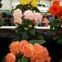 100_1455.jpg (double Tuberous Begonia)