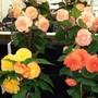 100_1456.jpg (double Tuberous Begonia)