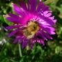 'Balding Bee' :)