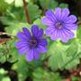 Geranium pyrenaicum'Bill Wallis' (Geranium pyrenaicum'Bill Wallis')