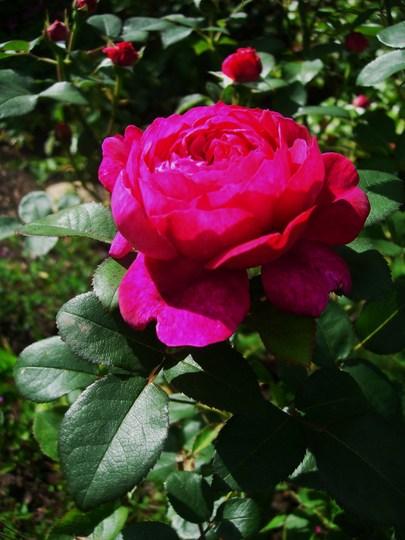 Rosa 'Noble Anthony'