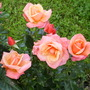 front lawn rose