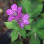 Geranium_thunbergii