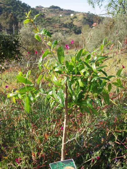 Pomegranate Tree (Punica granatum (Pomegranate))