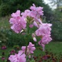 Saponaria officinalis (American Soapwort)