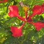 Delonix regia - Royal Poinciana Flower