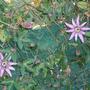 Passiflora_purple