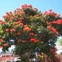 Spathodea campanulata - African Tulip Tree in Downtown San Diego, CA (Spathodea campanulata - African Tulip Tree)