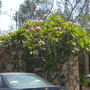 Plumeria 'Thai' - Thai Plumeria - San Diego, CA. (Plumeria 'Thai' - Thai Plumeria)