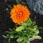 Flowers_in_garden_003