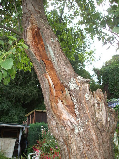 My plum tree.