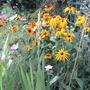 Gloriosa daisy and Cosmos.