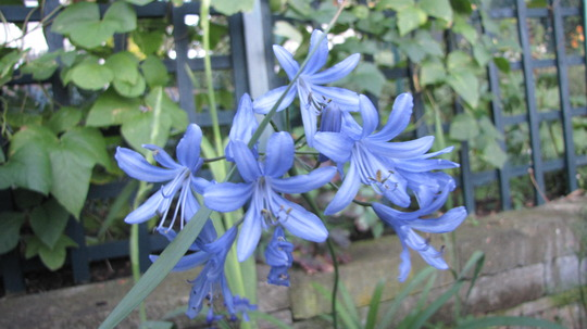 Agapanthus. (Agapanthus umbellatus (African blue lily))