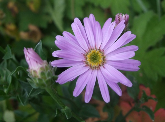 Aster amellus 'Pink Zenith' (Aster amellus)