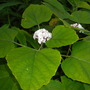 Clerodendrum philippinum - Chinese Glory Bower (Clerodendrum philippinum - Chinese Glory Bower)