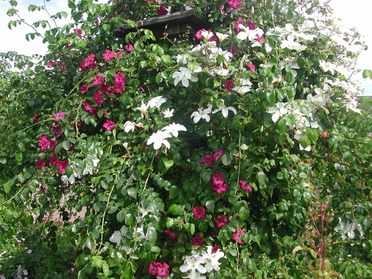 two clematis with a climbing rose in the rose garden. Black Bedroom Furniture Sets. Home Design Ideas
