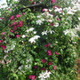 Two clematis with a climbing rose in the rose garden (Clematis 'John Huxtable' )
