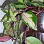 Hoya carnosa 'Crimson queen' leaves (Hoya carnosa)