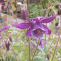 Tall Dark and Handsome.... (Aquilegia)