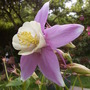 Purple/Yellow bi-colour Aquilegia (Aquilegia 'McKennas Large Flowered Hybrids')