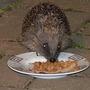 Hedgehog_006