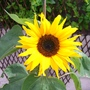 070802_sunflower_