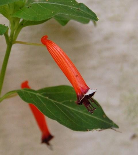 Cuphea ignea (Cuphea ignea (Cigar Flower))