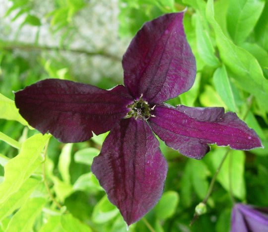 clematis viticella 39 black prince 39 grows on you. Black Bedroom Furniture Sets. Home Design Ideas