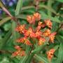 Euphorbia_fireglow