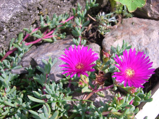 A garden flower photo (mesembryanthemum lampranthus)