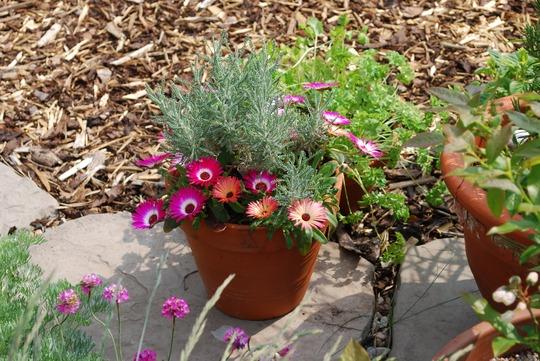 Mesems_and_santolina.jpg (Santolina chamaecyparissus (Cotton lavender))