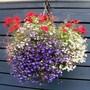 white lobellia mixed lobellia red petunias