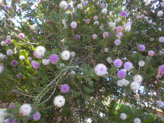 Melaleuca nesophila -  Pink Melaleuca (Melaleuca nesophila -  Pink Melaleuca)