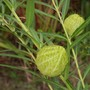 Gomphocarpus (Gophocarpus physocarpus 'Hairy Balls')