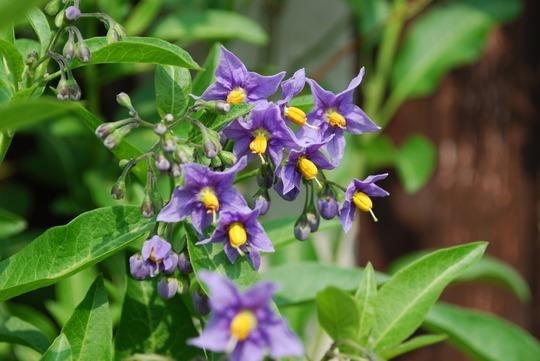 Solanum.jpg (Solanum crispum)