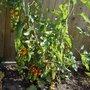 Sunblush tomatoes ripening