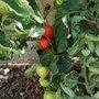 'Nectar Tomatoes'