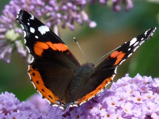 Red Admiral and Buddleia (Buddleja davidii (Butterfly bush))