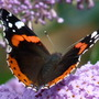 Red Admiral and Buddleia (Buddleja davidii (Butterfly bush))