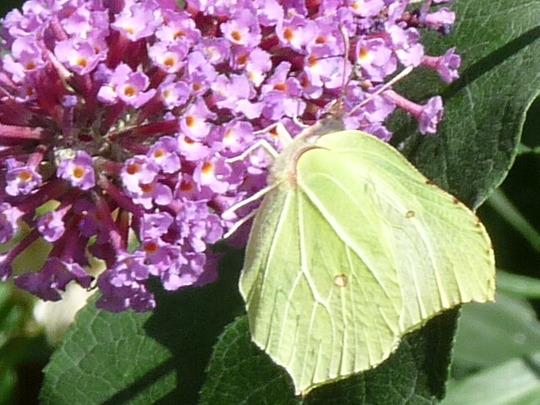 Brimstone Butterfly (Buddleja davidii (Butterfly bush))
