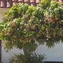 Mangifera indica - Mango Tree - San Diego, CA (Mangifera indica - Mango)