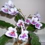 Streptocarpus  'Nerys'