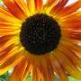 Sun behind sunflower
