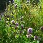 Water Mint in flower