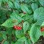 Lovely red berries on cotoneaster