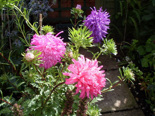 Asters revived after rain
