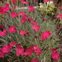 'Wicked Witch' Dianthus 2