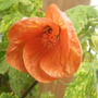 Abutilon thompsonii (Abutilon pictum Thompsonii)