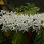 Coffea arabica - Coffee Tree Flowers (Coffea arabica - Coffee Tree)