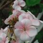 Geraniums (geranium)